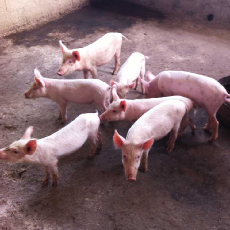Espoir Jeunes raises pigs rabbits and hens