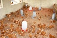 poulailler_poules